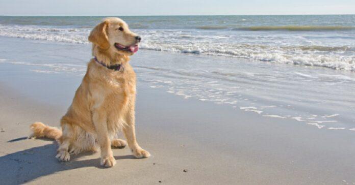 cucciolo golden retriever finge di sfilare come modello