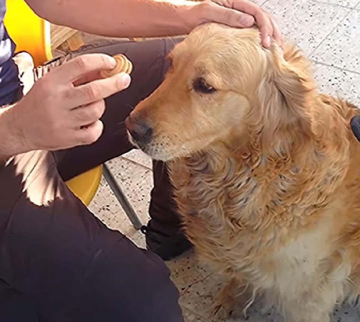 cucciolo golden attesa trucco