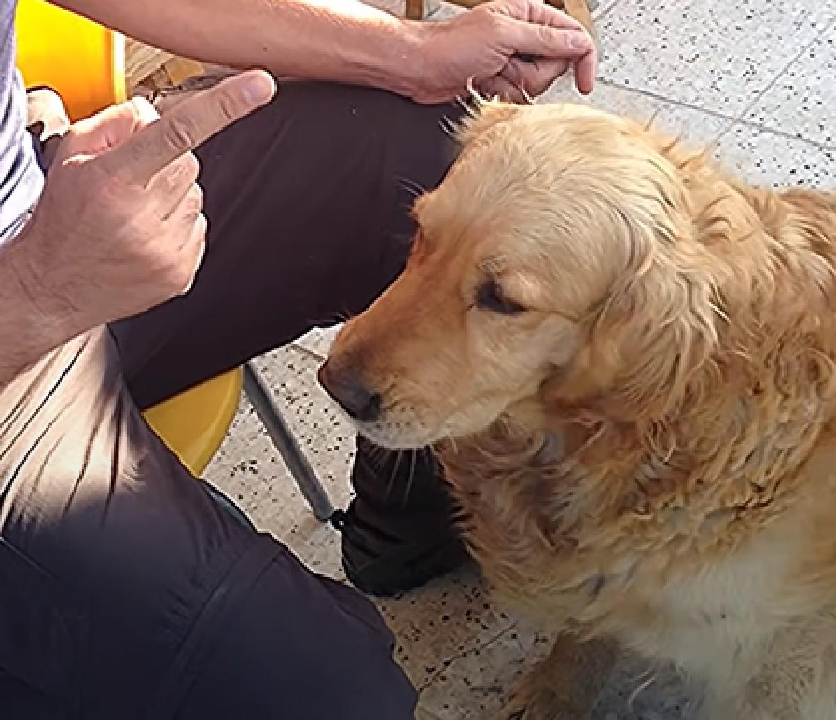 cucciolo golden gioco imparato perfezione