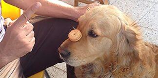 cucciolo golden retriever ha imparato trucco video