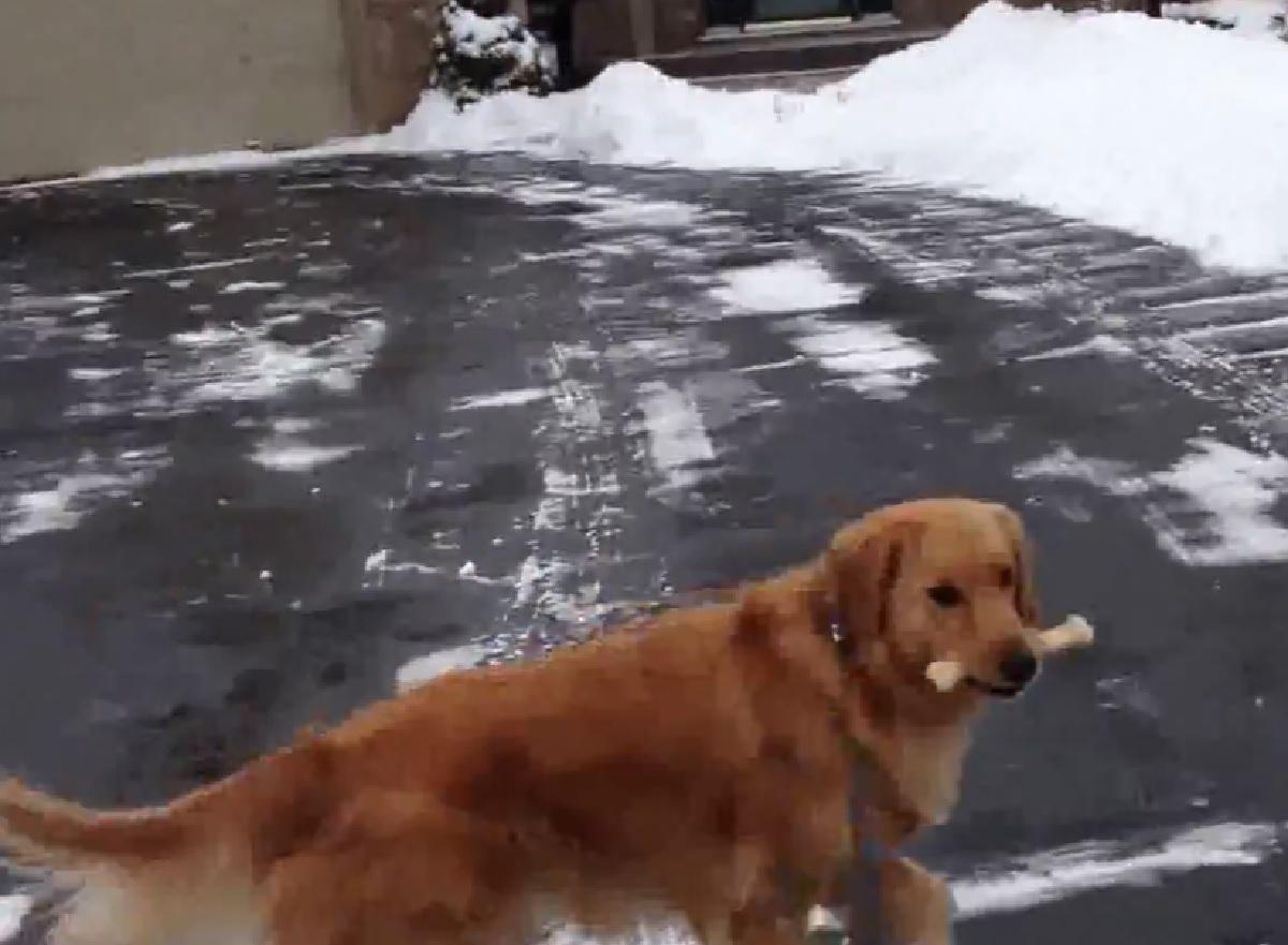 simon cucciolo golden passeggiate