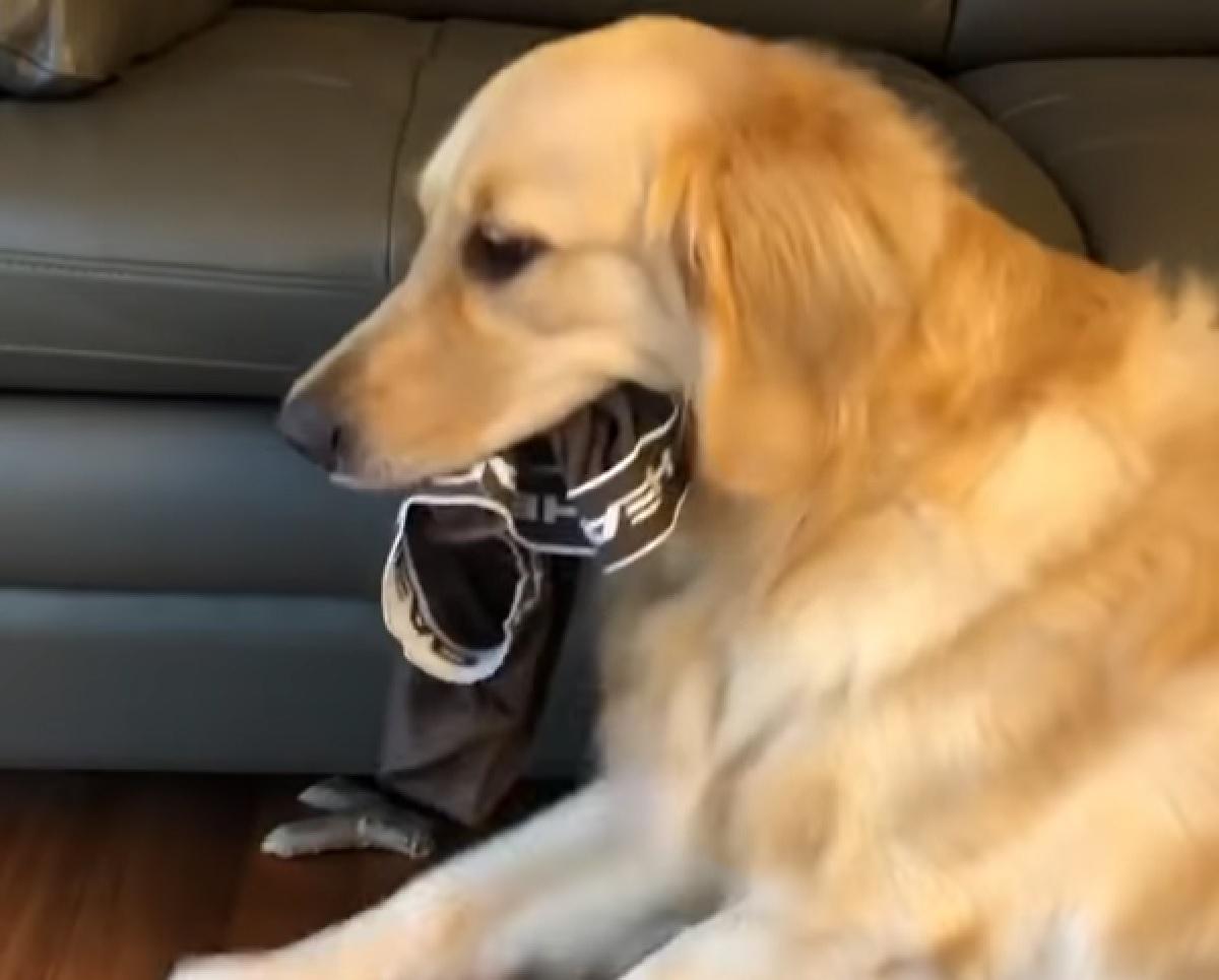 Il cucciolo Golden Retriever non vuole dare indietro le mutande, il video è tutto da gustare