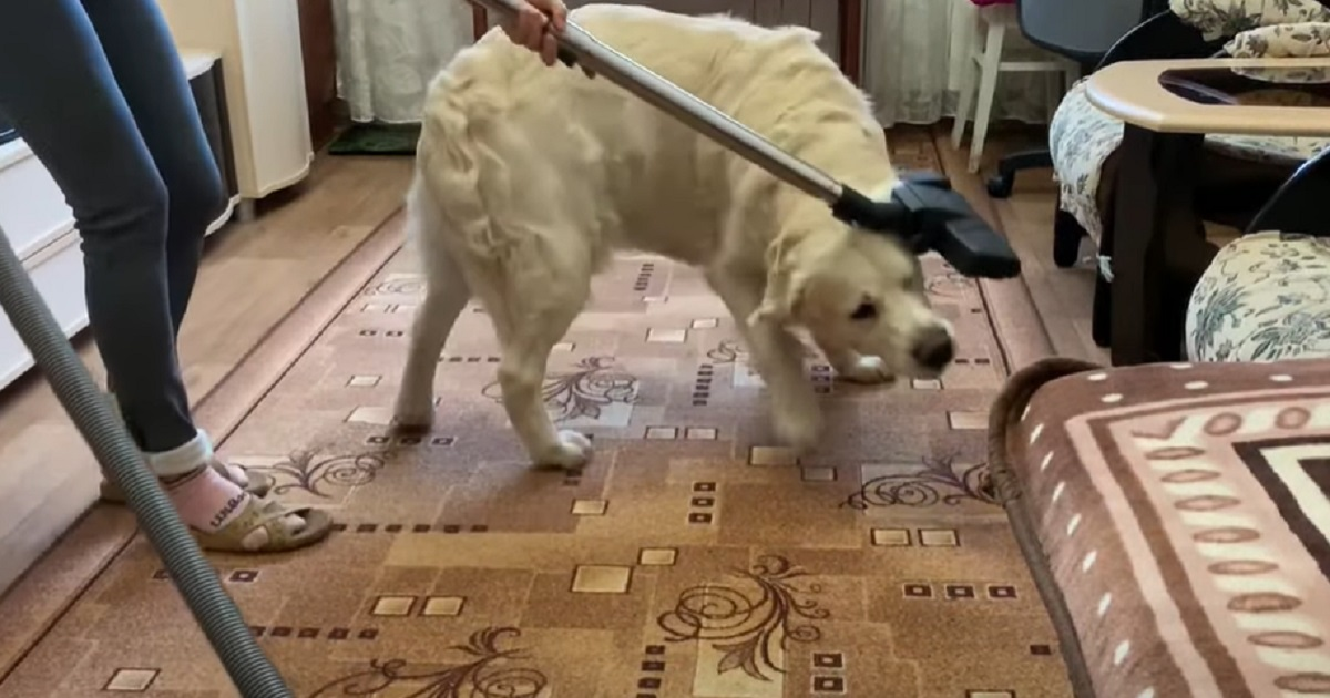Il cucciolo Golden Retriever si comporta in modo strano quando sente l'aspirapolvere, il video è virale