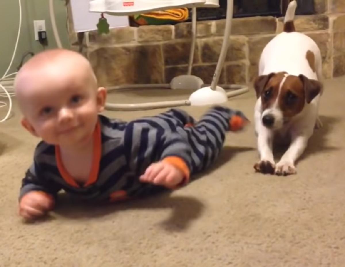 cucciolo jack russell obbiettivo gattonare