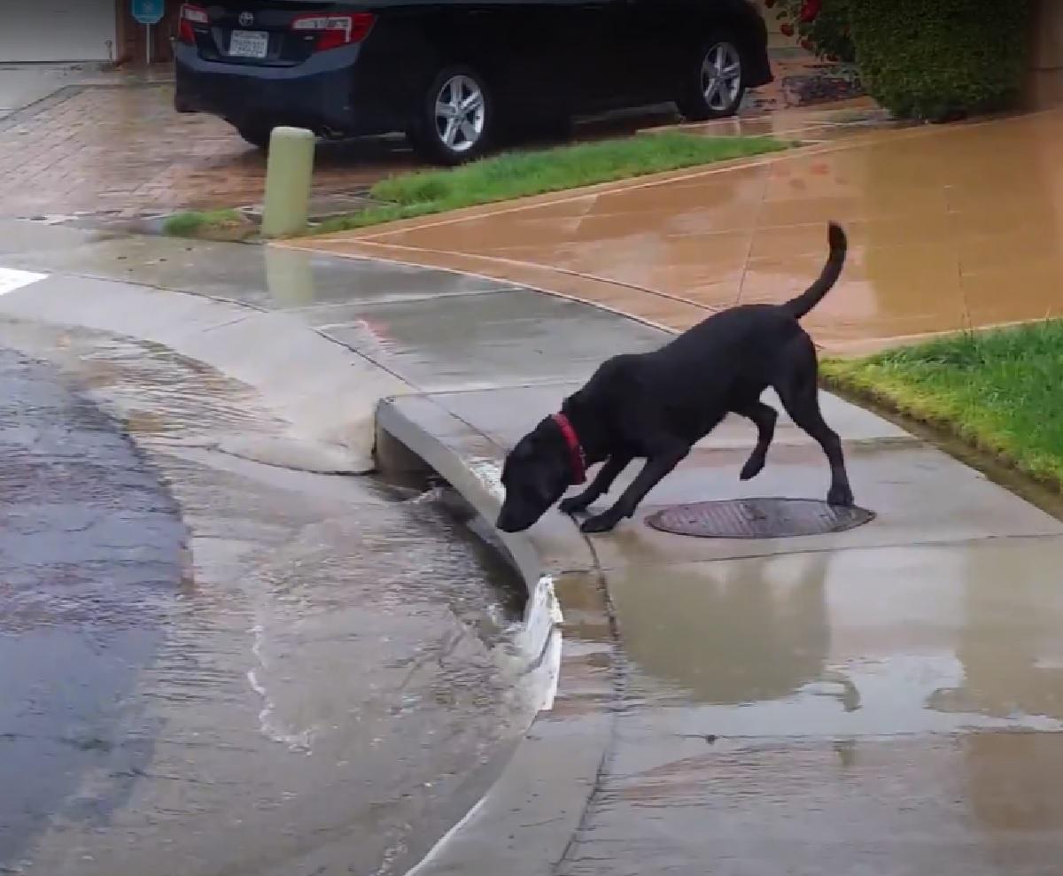 cucciolo labrador proprietario ride