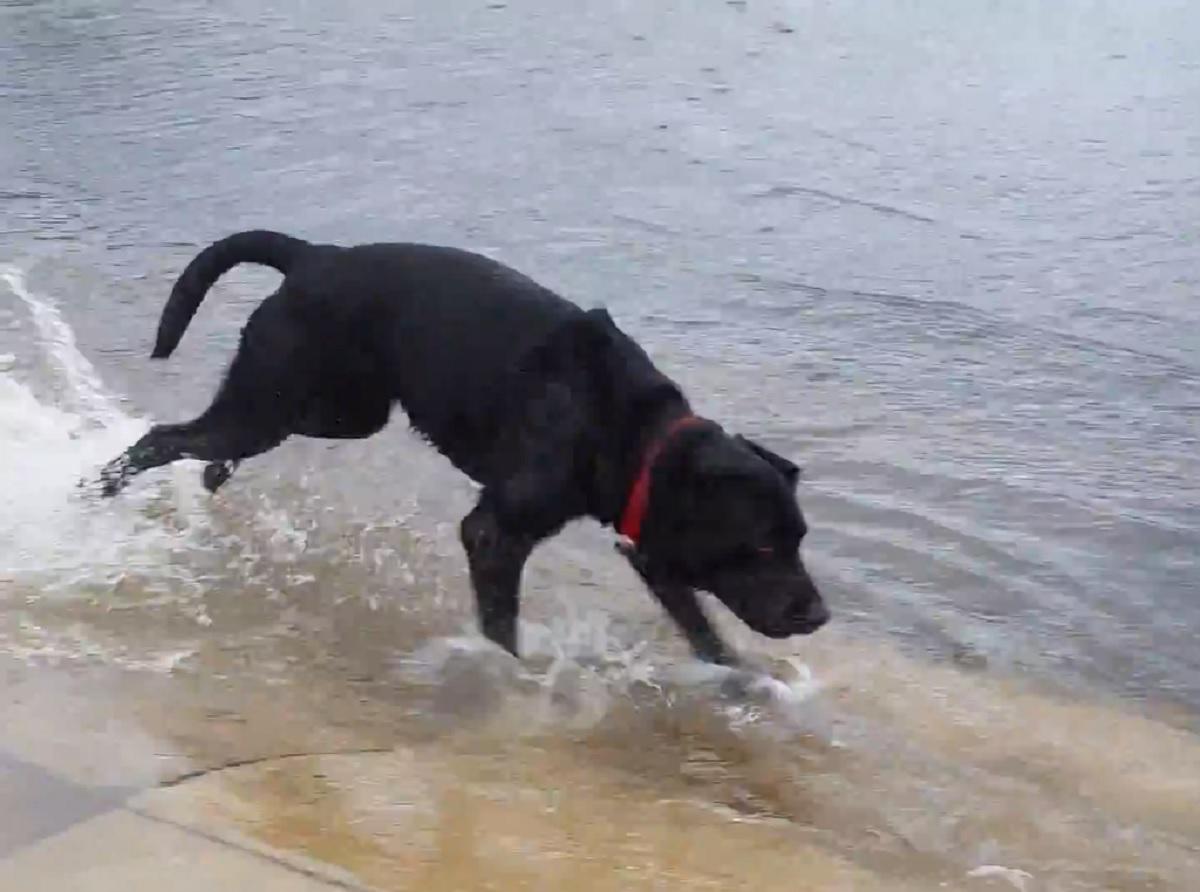 cucciolo labrador uragano piove