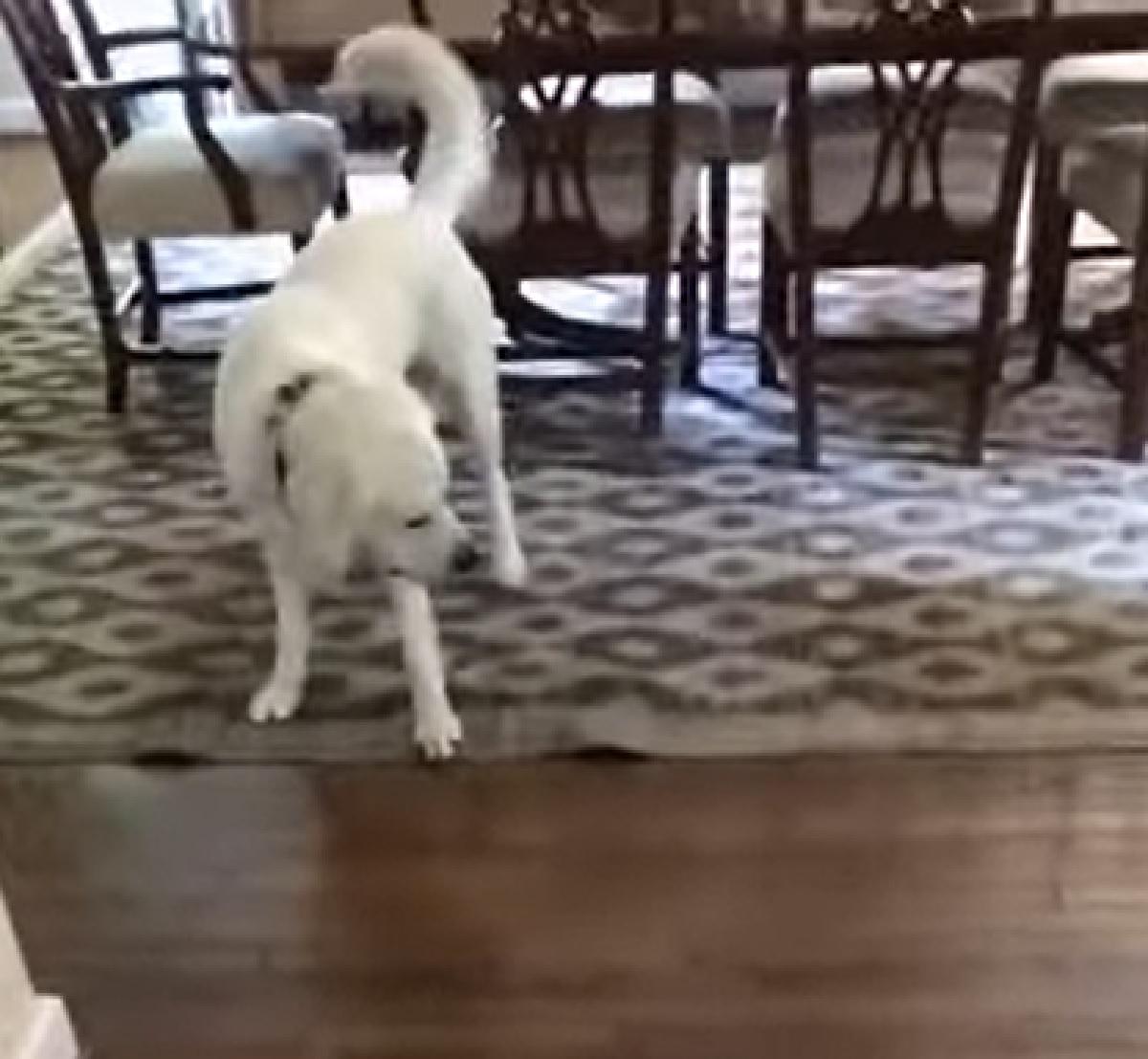 Il cucciolo Labrador gioca con un frisbee, nel video un imprevisto cambia i suoi piani