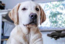 cucciolo labrador gioca con frisbee video cambia piani