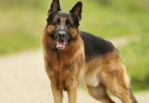 cucciolo pastore tedesco aiuta gatto uscire casa altruismo