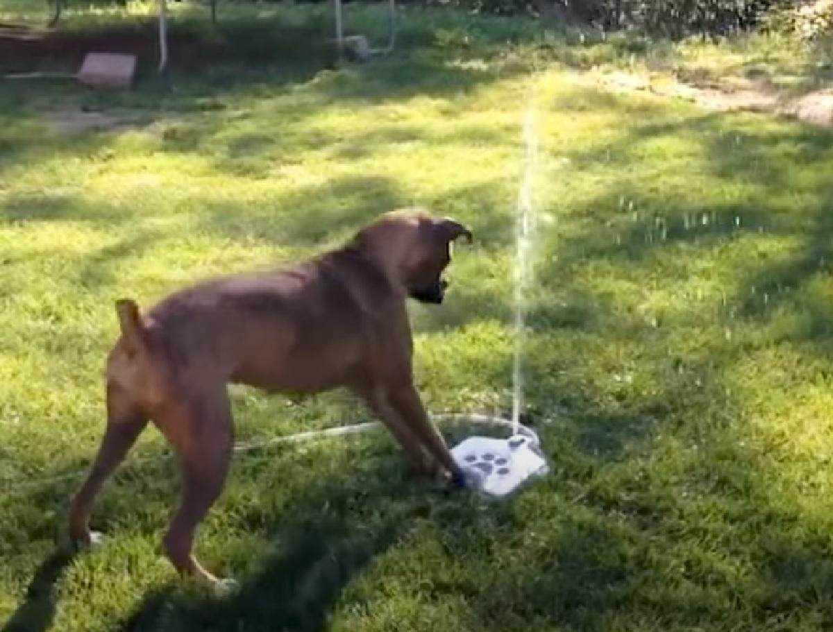 cucciolo pitbull sorpresa pedana attiva