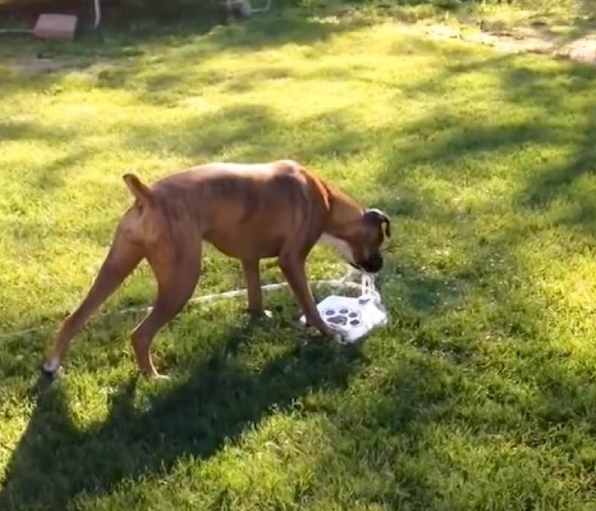 cucciolo pitbull gioco pedana pressione