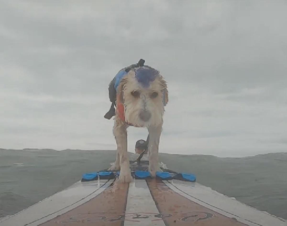 Il cucciolo Scooter è un vero asso del Surf, il suo talento nel cavalcare le onde in video