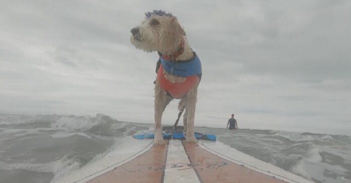 cucciolo scooter asso surf talento cavalcare onde video