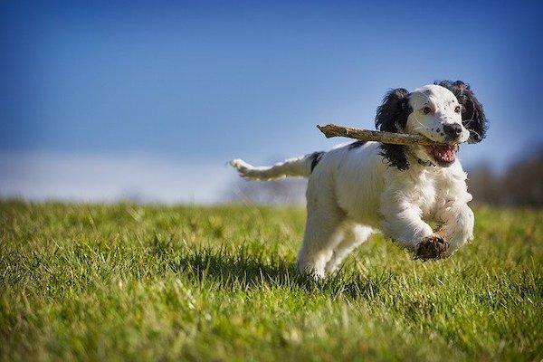 il gioco nel cane