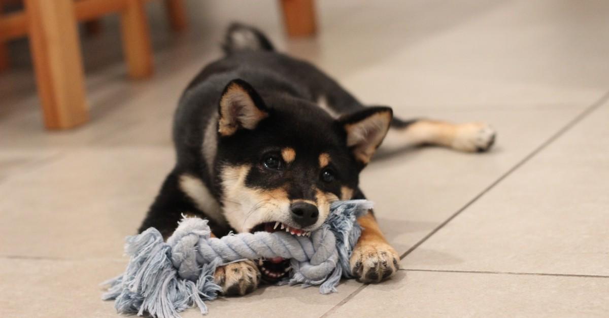 Cucciolo di cane morde sempre la cuccia: cosa significa e come fermarlo?