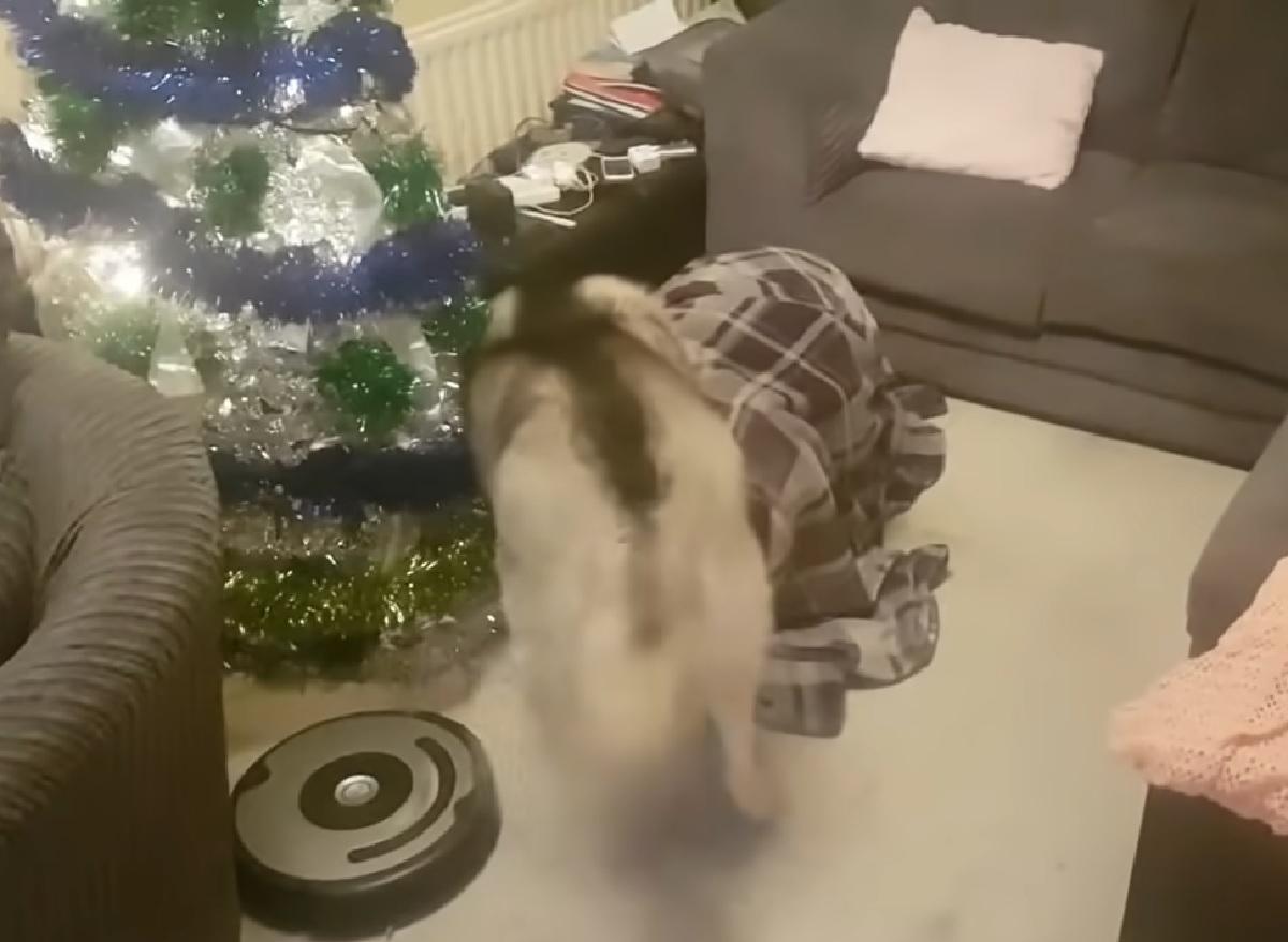 La cucciola Alaskan Malamute riceve un regalo per natale, nel video tutta la sua sorpresa
