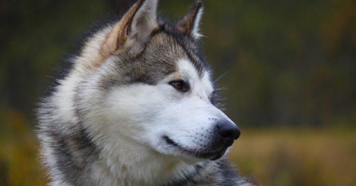 la cucciola alaskan malamute riceve regalo natale video