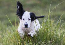 cucciola cane scappa gallina il video inseguimento tiene fiato sospeso