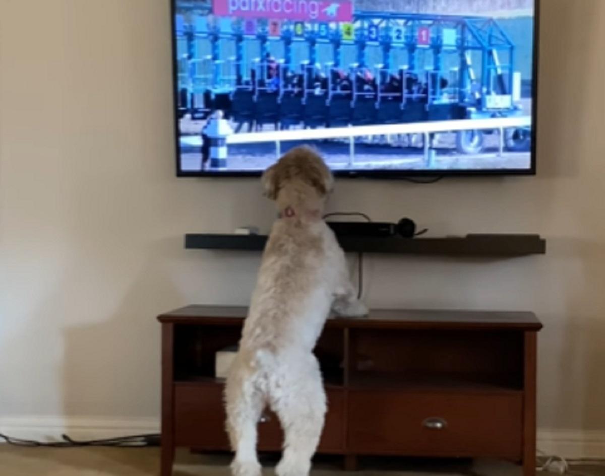 La cucciola di Wheaton Terrier è attratta dalle corse dei cavalli in TV, quello che fa in video è incredibile