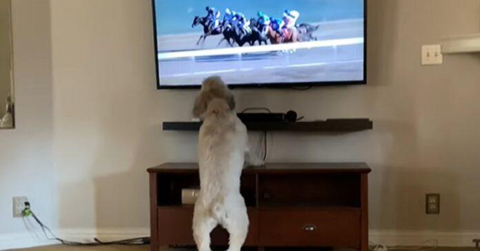 cane corse cavalli