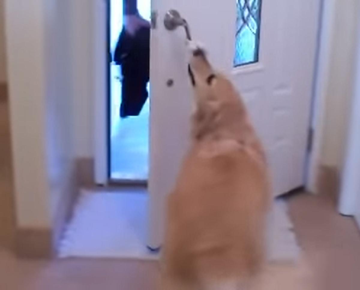 La cucciola Golden Retriever accoglie nel migliore dei modi l'ospite, il video è imperdibile