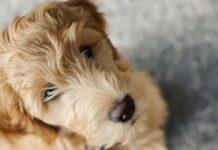 goldendoodle cucciolo casa