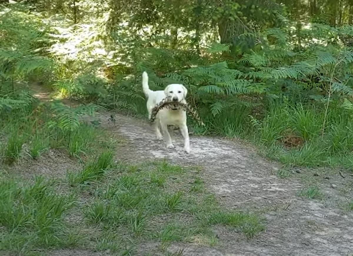 La cucciola Labrador trova qualcosa di sconcertante nel bosco, ecco il video della scoperta