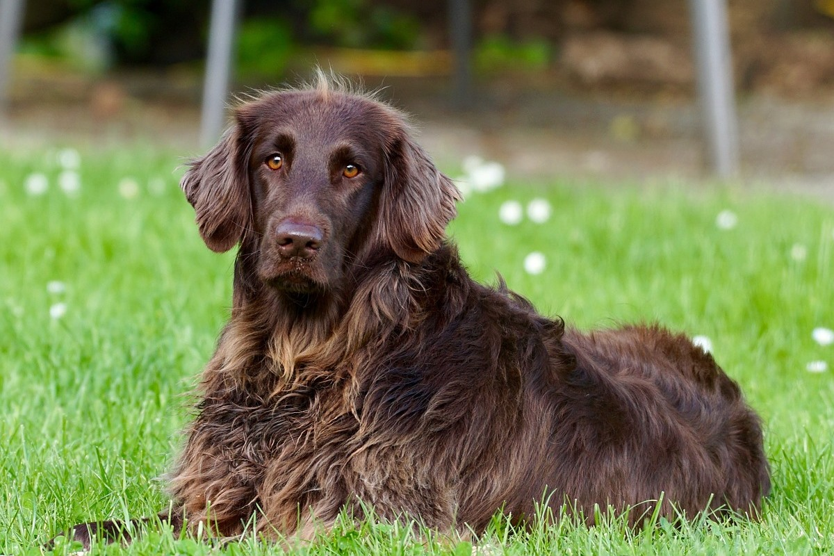 cane di taglia grande a pelo lungo