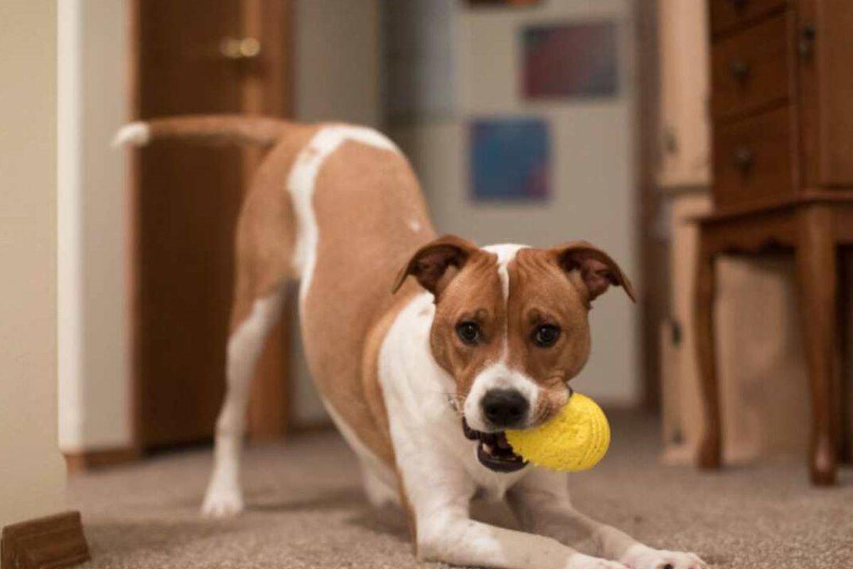 cane che gioca con la pallina
