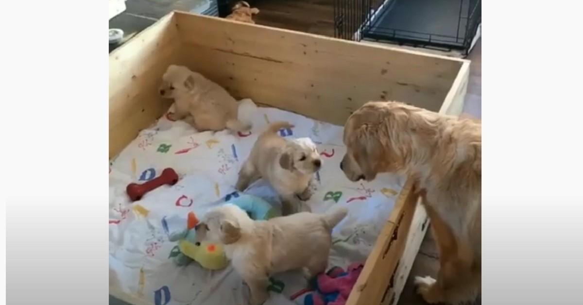 mamma va a trovare i suoi cuccioli di Golden Retriever nella cuccia