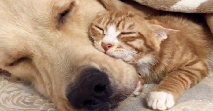 Golden Retriever e gattino arancione