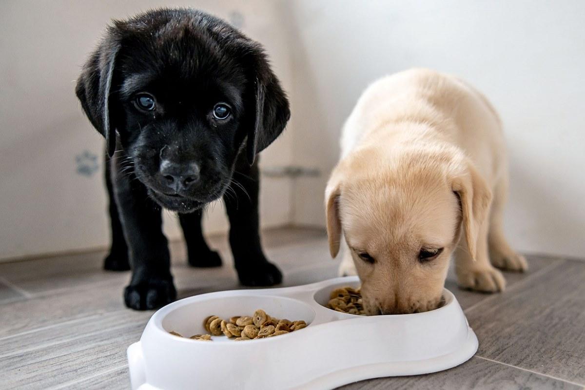 cuccioli di labrador che mangiano la pappa