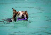 cucciolo di cane può nuotare