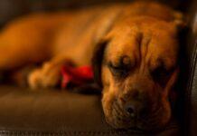 cane stanco e addormentato
