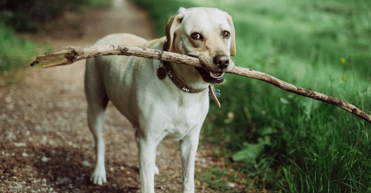 cane trasporta bastoncino di legno
