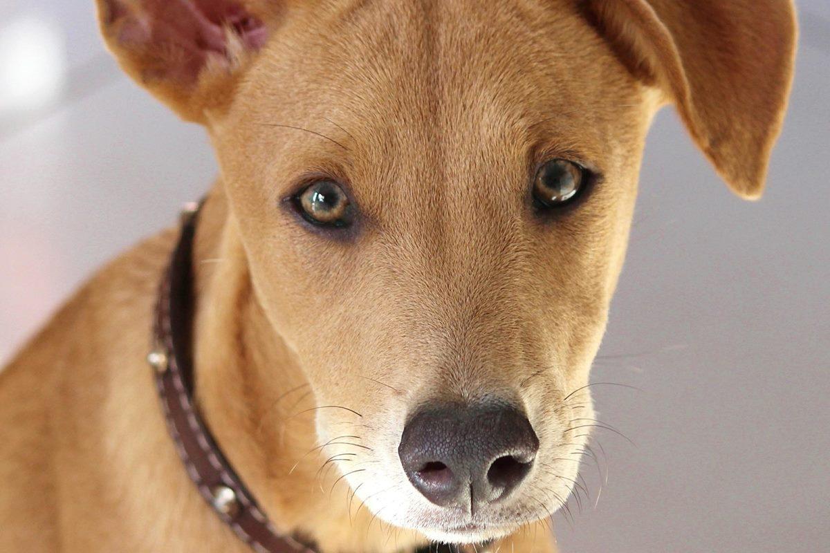 cane marrone chiaro
