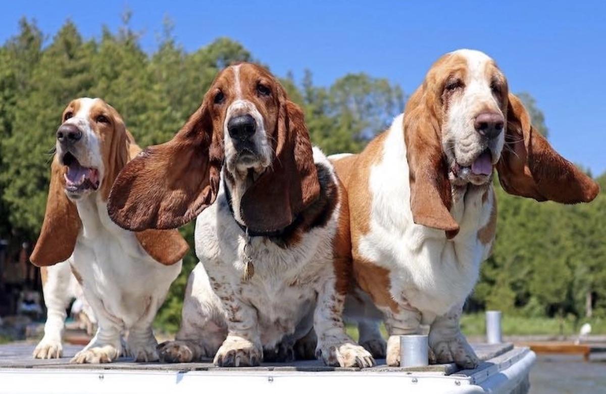 basset hound felici