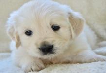 cucciolo di golden retriever bianco