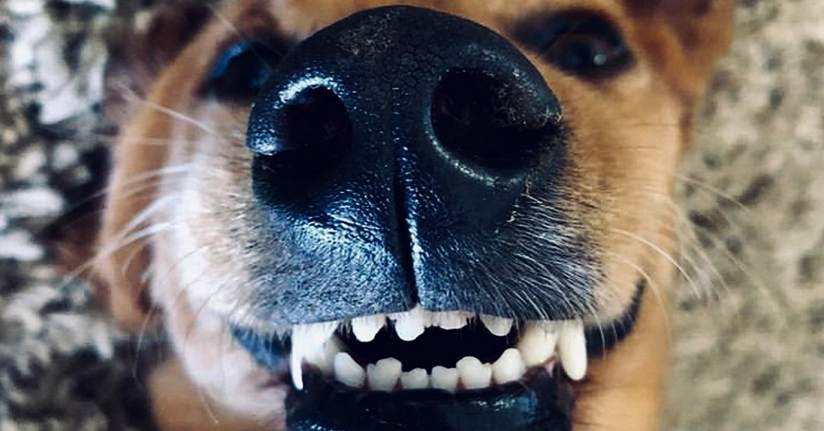 Denti di un cane