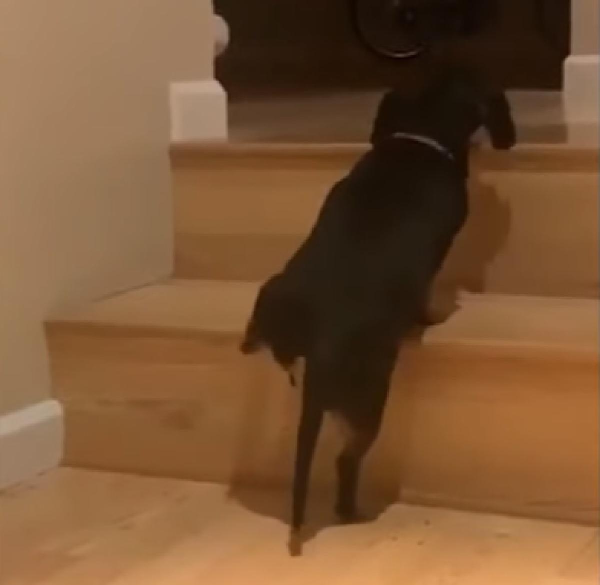 Questo cucciolo Bassotto trova il modo di affrontare le scale di casa, tutta la sua astuzia in video