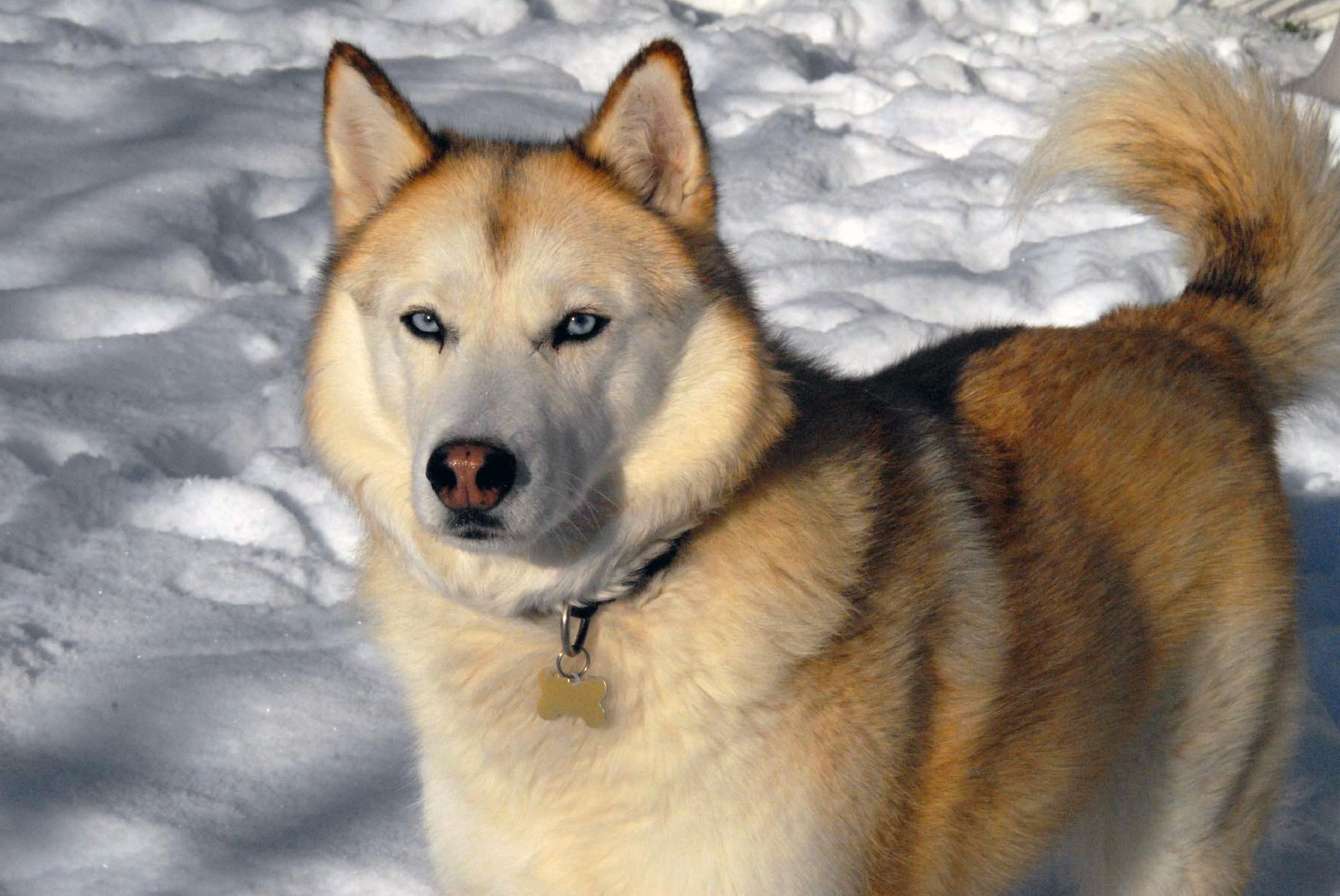 Razze di cani nordici, le 5 più affascinati e che sanno resistere al freddo