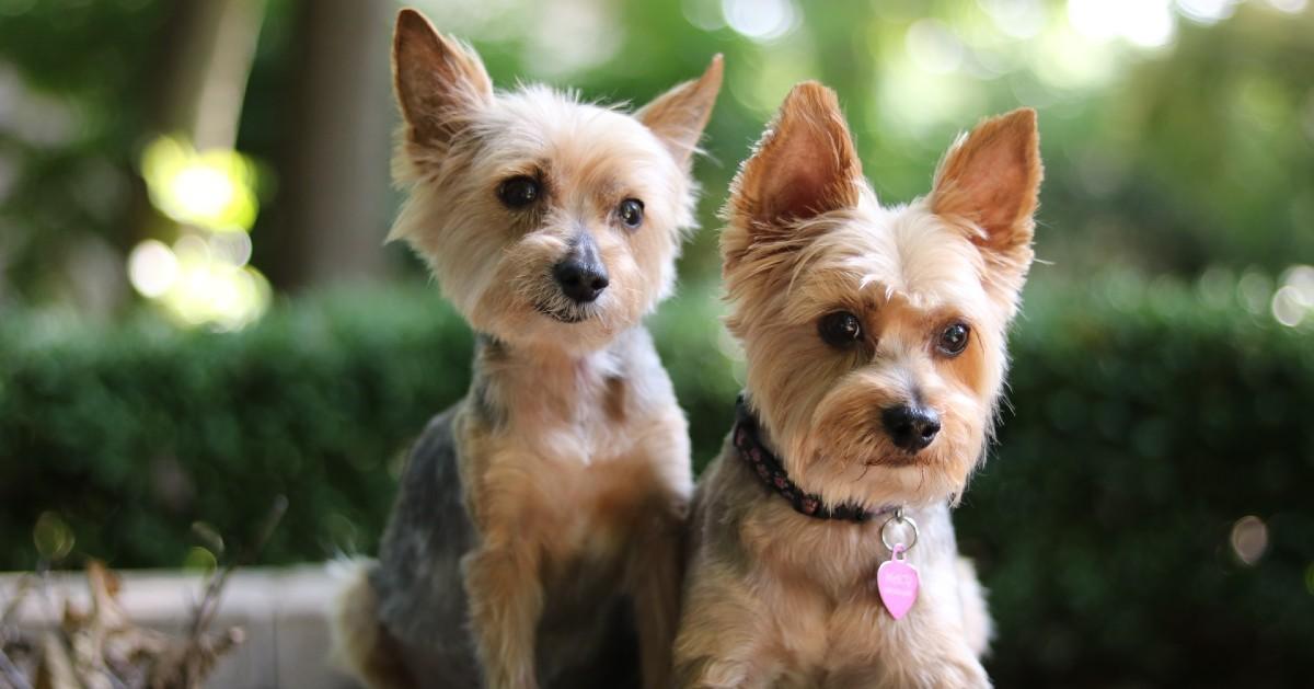 cuccioli di yorkshire terrier carattere