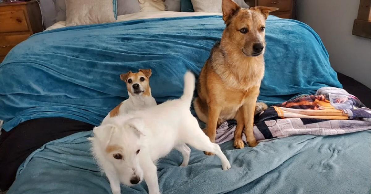 servizio fotografico dei cuccioli di Jack Russell