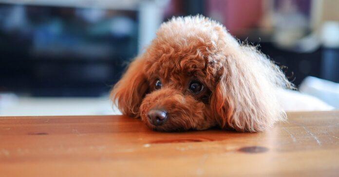 cane con il muso sulla tavola