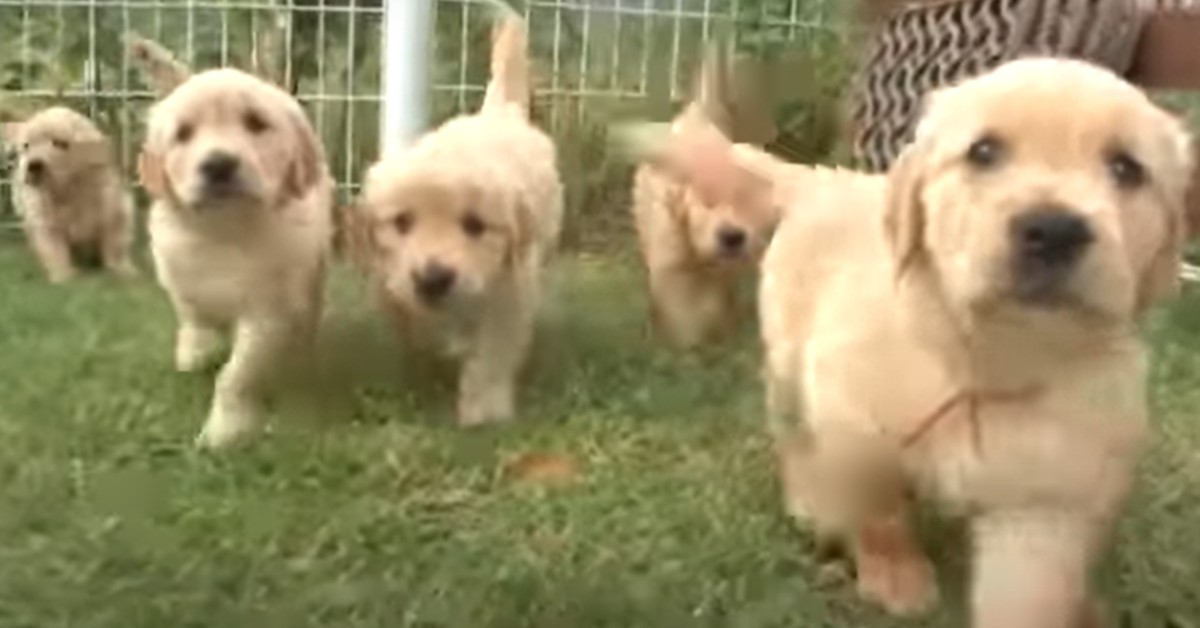 Tredici cuccioli di Golden Retriever corrono, giocano e si divertono (VIDEO)