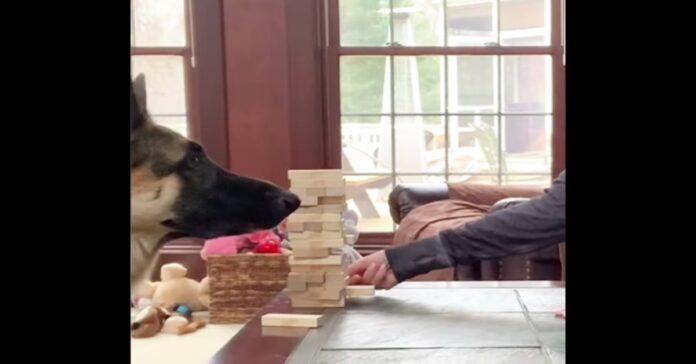 Pastore Tedesco gioca con mattoncini di legno con il padrone