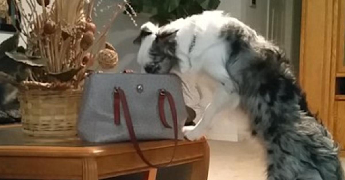 Biscuit, il Border Collie ruba i soldi dalla borsa della sua padrona (VIDEO)