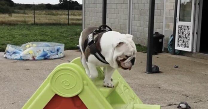 Bruno Bulldog Inglese sullo scivolo