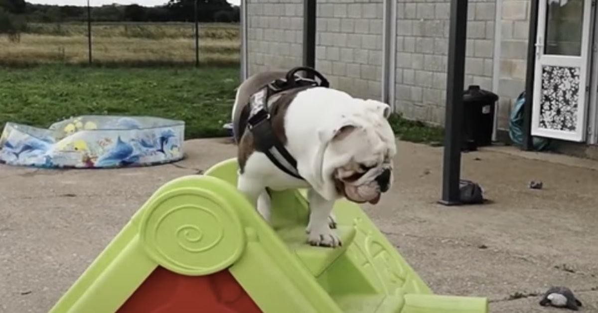 Bruno, un cucciolo di Bulldog Inglese, intenerisce il mondo giocando con uno scivolo (VIDEO)
