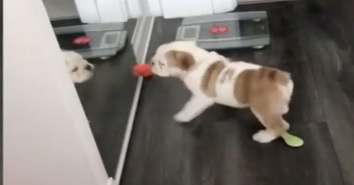 Bulldog litiga con il suo riflesso allo specchio